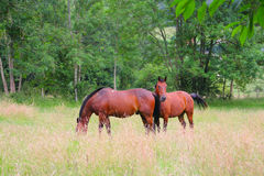 Two horses on the pasture Stock Images