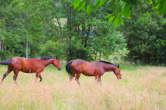 Two horses on the pasture Royalty Free Stock Image