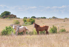 Two horses in pasture Royalty Free Stock Images