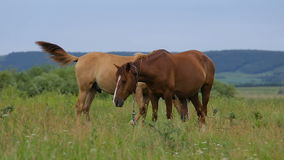 Two horses on pasture. Two horses on summer green pasture stock footage