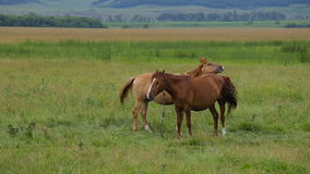 Two horses on pasture. Two horses on summer green pasture stock video