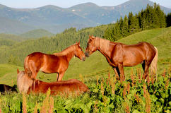 Two horses on pasture touching heads against the backdrop of the Stock Photography