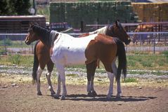 Two horses in pen, ID Stock Photo