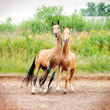 Two horses play. In paddock Royalty Free Stock Photo