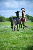 Two horses play Stock Photos