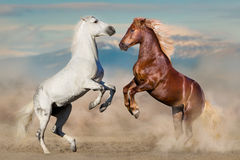 Two horses play. And rearing up stock image