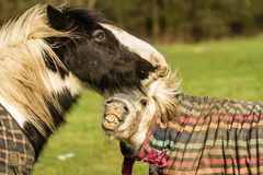 Two horses playing in coats Royalty Free Stock Images