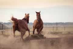 Two horses playing in dust during a day. Royalty Free Stock Photos
