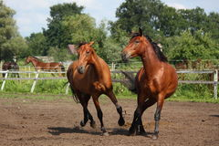 Two horses playing with each other Stock Image