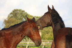 Two horses playing with each other Royalty Free Stock Photography