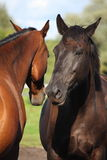 Two horses playing with each other Royalty Free Stock Photo