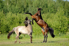 Two horses playing in the field Stock Photos