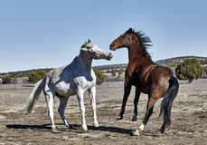 Two Horses Playing Royalty Free Stock Images