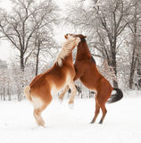 Two horses playing in snow Royalty Free Stock Images