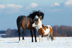 Two horses playing in the snow. In wintertime Royalty Free Stock Images