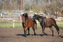 Two horses playing tag Stock Photo