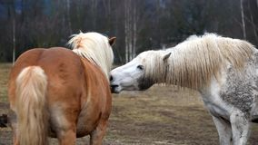Two horses are playing together. Czech Republic stock video