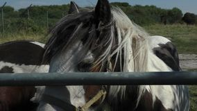 Two Horses/Ponies over the gate rail. stock footage