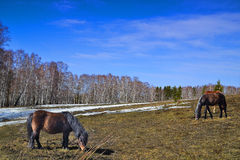 Two horses and pony grazing on the spring meadow Royalty Free Stock Photos