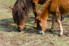 Two horses. Pony horse in nature in mountain ethno village Stock Image
