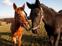 Two Horses Portrait Stock Images