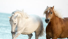 Two horses portrait with blue sea behind Royalty Free Stock Photography