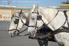 Two horses. Royalty Free Stock Images