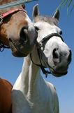 She and he. Two horses she and he portrait in sunny day stock photos