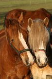 Two horses posing Royalty Free Stock Image
