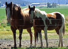 Two horses posing for me. Two pet horses possing for me behind a barbed wire fence Royalty Free Stock Photos