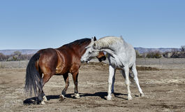 Two Horses preparing to bite each other Stock Photos
