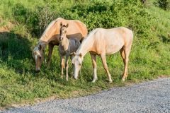 Two horses protects a foal Stock Images