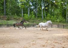 Two horses race around practice ring Royalty Free Stock Image