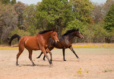 Two horses racing in the pasture Royalty Free Stock Photography