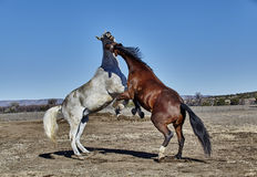Two Horses Rearing Up in Fighting Position Royalty Free Stock Photo