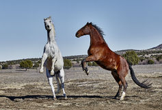 Two Horses Rearing Up Royalty Free Stock Photo