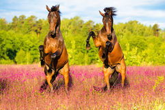 Two horses rearing up on the pink flowers meadow. Two horses play on the pink flowers in summer time Royalty Free Stock Images
