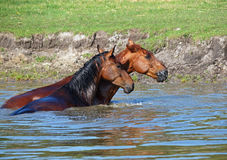 Two horses refreshed in  water. Two horses standing in a pond Royalty Free Stock Photo