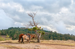 Two horses rest in mountains at lonely tree stock images