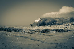 Two horses roam along isolated and deserted beach. Old style image reflecting the isolation of the region two horses one white one black roam along East Coast Royalty Free Stock Photo