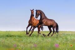 Two horses run Stock Photos