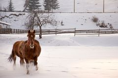 Horse gallop in the snow. Two horses run through the snow with the fir forest in the background stock photography