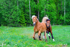 Two horses running Royalty Free Stock Photos