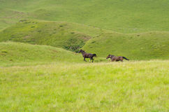 Two horses running after each other Royalty Free Stock Image