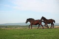 Two horses running Stock Image