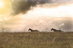 Two horses running in a field, Lithuania royalty free stock images