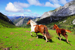 Two horses running free. Two horses running in the mountain pastures Royalty Free Stock Photos