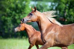Two horses running freedom in field Stock Photo