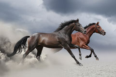 Two horses running at a gallop. Along the sandy field Royalty Free Stock Images