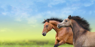 Two horses running through the green field Royalty Free Stock Images